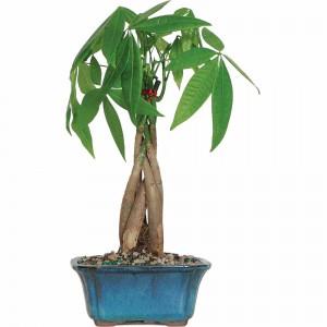 Money Tree Bonsai Tree Sale