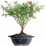 pomegranate-bonsai-tree