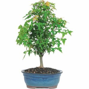 picture of Trident Maple Bonsai Tree Sale