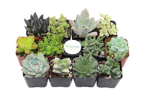 picture of Shop Succulents Unique Succulent (Collection of 20)