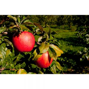 picture of Online Orchards Dwarfs Apple Tree Sale